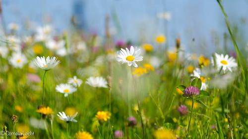 bunte Sommerwiese zum Träumen...
