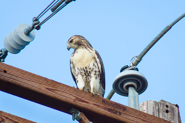 Hawk, Power Line, Utility Pole, Blue Sky