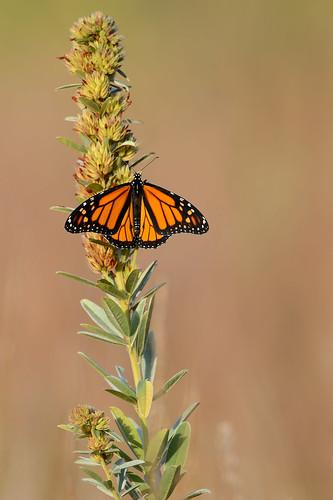 Monarch-43075.jpg