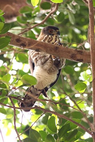 公園裡的鳳頭蒼鷹,看著樹下來往的人們。(圖片攝影:曾建偉)