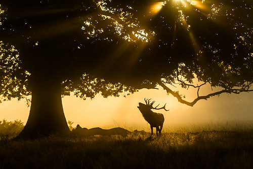 autumn light england sun animal silhouette sunrise mammal stag unitedkingdom surrey antlers planet rays reddeer vertebrate rut bushypark rutting bellowing cervuselaphus