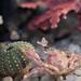Graceful kelp crab, Pugettia gracilis