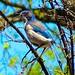 Western Scrub Jay by I Nair