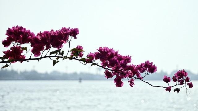 tige, flower, Cochin, Kerala, India