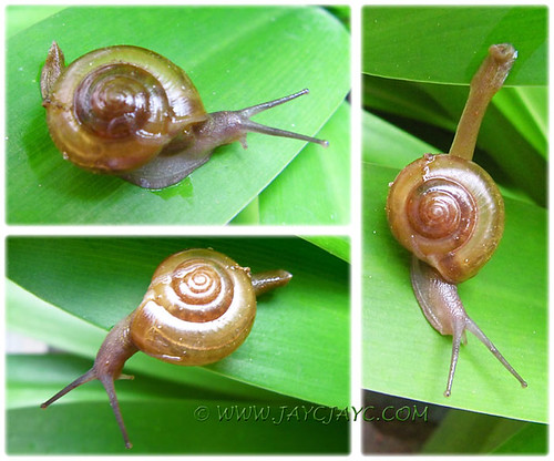 Collage of common garden snail on leaf of Caribbean Spiderlily, Oct 3 2013