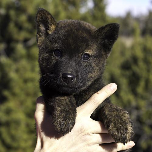 Ayu-Litter3-Day57-Puppy4-Male(Kazuki)-a