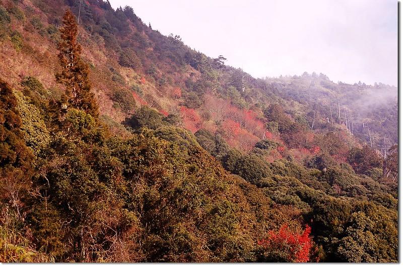 台灣紅榨槭 1