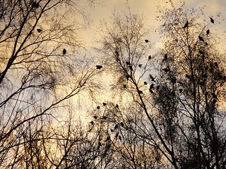Redhill Common Sunset - Dec 2013 - Parakeets Assemble