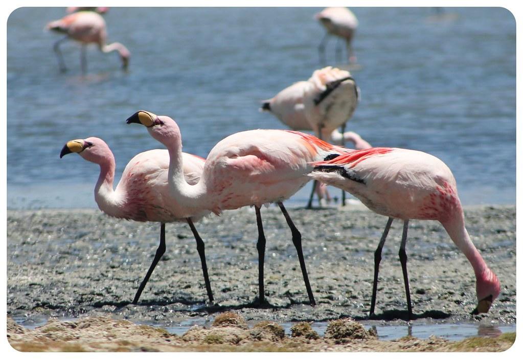 11 laguna hedionda flamingos bolivia