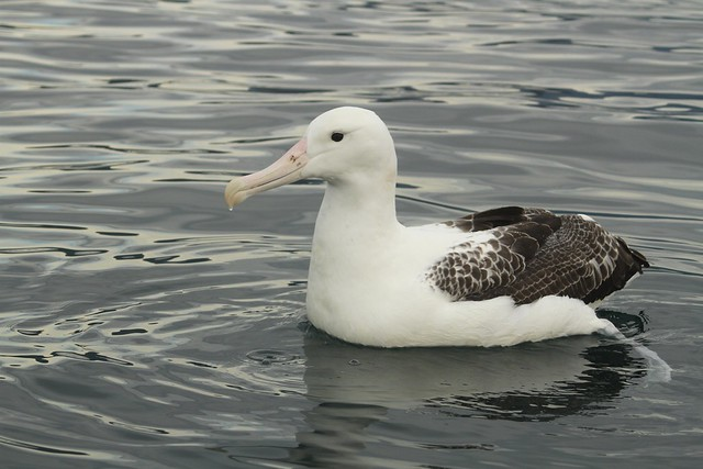 Royal Albatross (Southern)