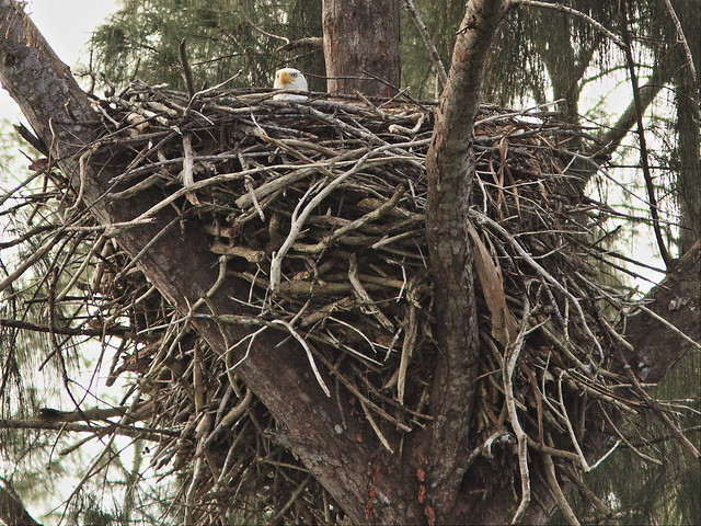 Bald Eagle adult incubating 20140105