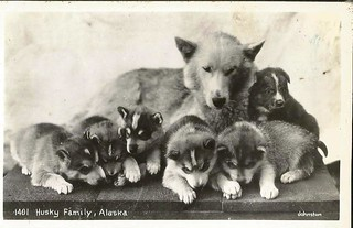 Husky Family of Alaska- vintage postcard