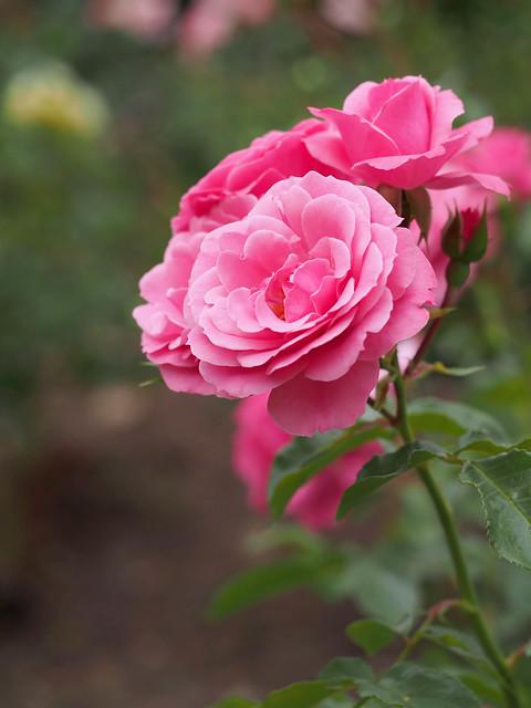 Photo:Rose, Royal Bonica, バラ, ロイヤル ボニカ, By T.Kiya
