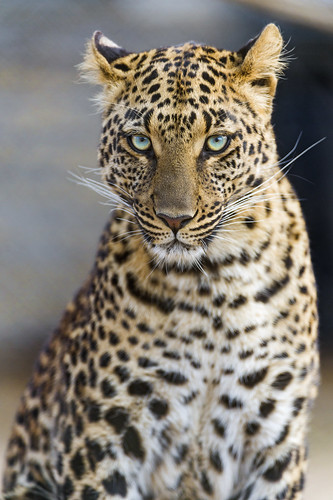 Serious but beautiful Choetta by Tambako the Jaguar