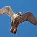 """Peregrine Falcon by """"Clare"""""""