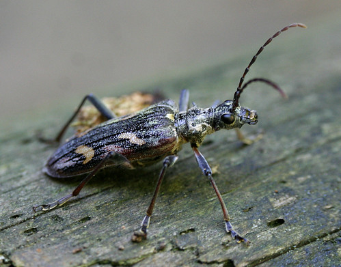 Two-banded Longhorn Beetle Tophill Low NR, East Yorkshire May 2014