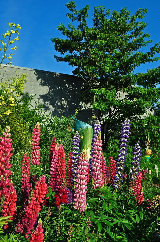 Lupinus 'Band of Nobles' (5)
