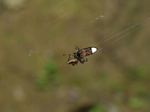 黑翅螢遭蜘蛛捕食。(圖片攝影:李鍾旻)