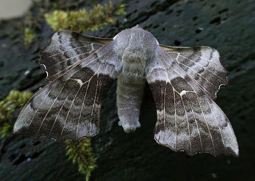 Poplar Hawk-moth Laothoe populi Tophill Low NR, East Yorkshire