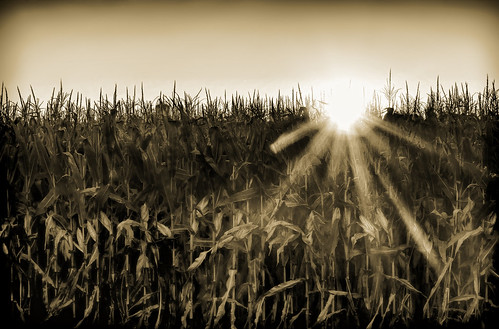 sepia sunset corn farm sun sunrays farmfield landscape field cornfield monochrome oshkosh wisconsin oshkoshwisconsin tan brown browntan