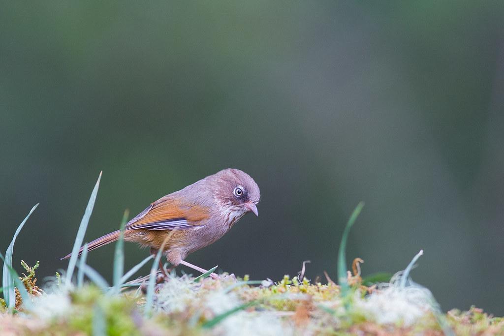 褐頭花翼-1365