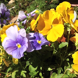Pansy 3
