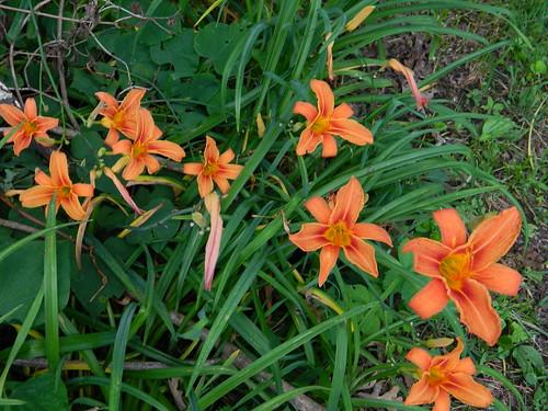 Tiger Lilies