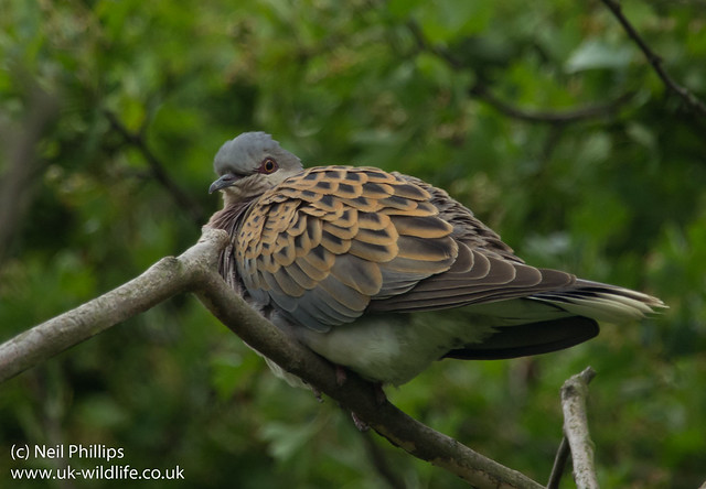 Turtle dove Streptopelia turtur in hawthorn