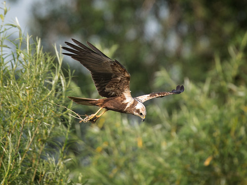 Male Marsh Harrier with prey_2