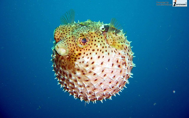 PufferFish Wallpaper