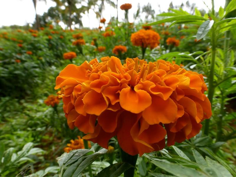 Cycling to Nandi Hills - Marigold (Zendu) flowers