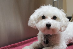 toy poodle, miniature poodle, bichon frisã©, dog breed, animal, puppy, dog, cavachon, schnoodle, pet, coton de tulear, mammal, bolonka, poodle crossbreed, havanese, morkie, bichon, cockapoo, maltese, cavapoo, bolognese,