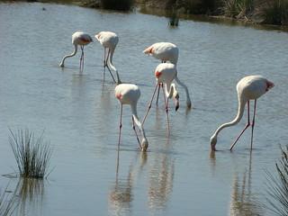 127 flamingo's