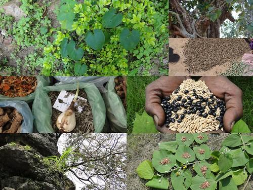alhagi maurorum seed rate