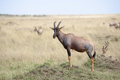 animal, prairie, antelope, plain, mammal, horn, herd, hartebeest, fauna, impala, savanna, grassland, safari, gazelle, wildlife,