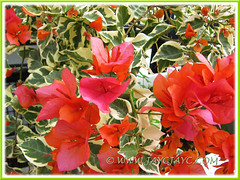 Bougainvillea 'Bengal Orange' with lovely deep orange bracts and variegated leaves