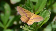 # 7146 – Haematopis grataria – Chickweed Geometer Moth
