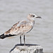 SurfsideBirding_0174_Sept2013.jpg