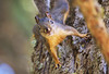 Steider.Squirrel on Tree