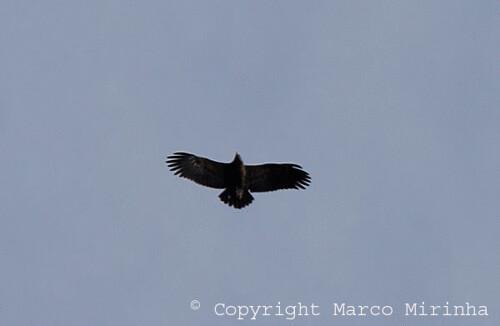Lesser-Spotted Aquila pomarina Cabranosa, Sagres, Portugal October 2013