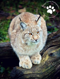 Lynx at Whipsnade Zoo | Bedfordshire