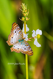 The White Peacock Butterfly