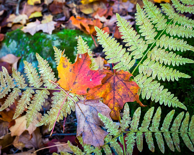 Fall, Ferns, Forest, Autumn, Maple Leaves, Autumn Colors