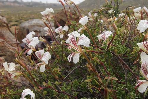 P. praemorsum, near Springbok