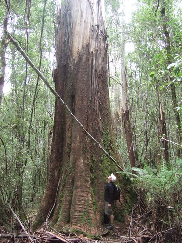 Dan and an enormous eucalypt