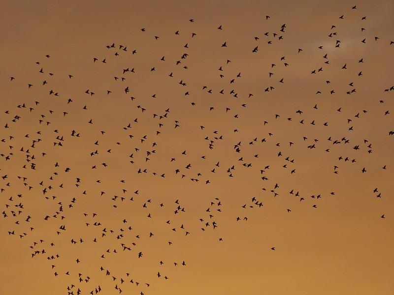 P1060338 - Starling Murmuration, Aberystwyth