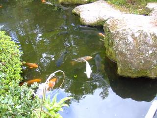 箱根神社・池の鯉