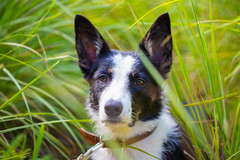 lapponian herder(0.0), australian kelpie(0.0), puppy(0.0), lancashire heeler(0.0), australian cattle dog(0.0), border collie(1.0), dog breed(1.0), animal(1.0), dog(1.0), grass(1.0), pet(1.0), karelian bear dog(1.0), carnivoran(1.0),