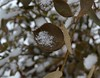 Snow on Rose Leaf #2