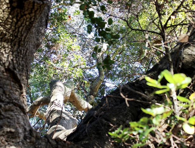 live oak forest sky